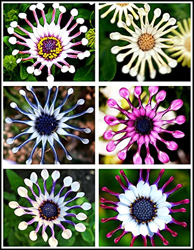 100pc African Daisy Rare Blue Purple Daisy Flower Seed for