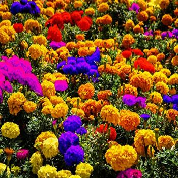 100 Pcs Mixed African Marigold Seeds Flower to Plant in Your