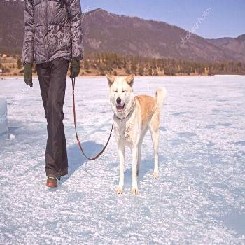 A happy Japanese Akita Inu dog with closed eyes on a leash with her owner walks ,
