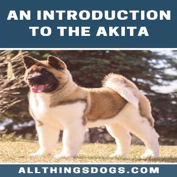 Akita Not only is this breed confused with Malamutes and Huskies, but Japanese Akitas are often con