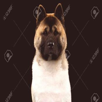 Close-up Portrait of American Akita Dog Breed on isolated black background, front view ,