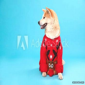 Cute Akita Inu dog in Christmas sweater on blue background. Space for text ,