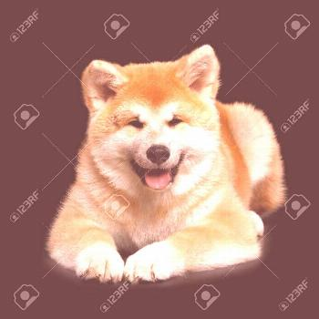 Cute Akita Inu Puppy Lying and smiling on Isolat...