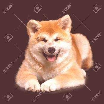 Cute Akita Inu Puppy Lying and smiling on Isolated Black Background, front view ,You can find ...