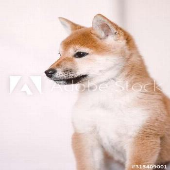 Cute fluffy dog Akita with white and gold fur sitting calm and looking away at studio ,