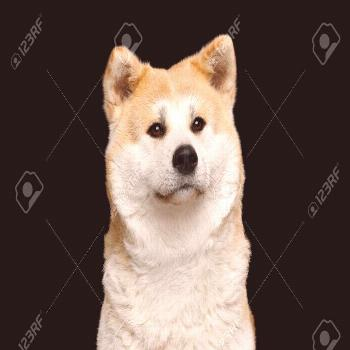 Portrait of Cuddly Akita Inu Dog Cute looking on Isolated Black Background, front view ,