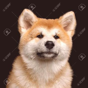 Portrait of Cute Akita Inu Puppy looking up on Isolated Black Background, front view ,