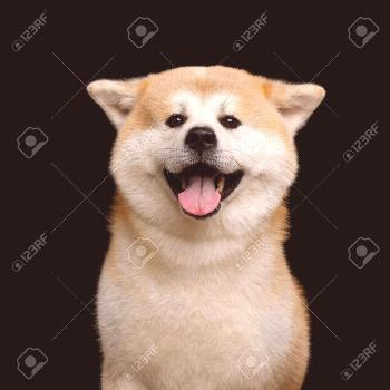 Portrait of Happy Akita Inu Dog Smiling on Isolated Black Background, front view ,