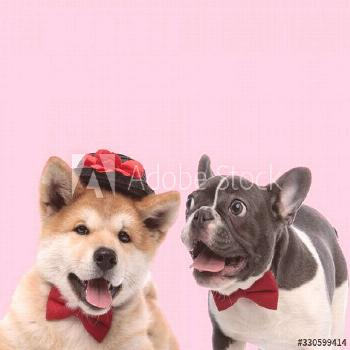 team of akita inu and french bulldog on pink background ,