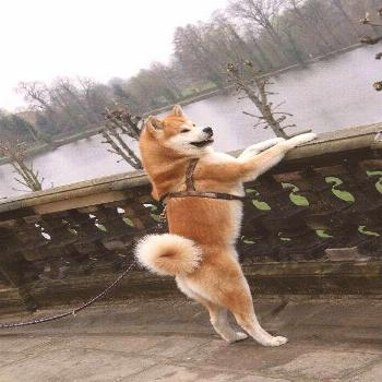 The Akita is most joyful and does best when living inside with his family. This breed is not hyper,