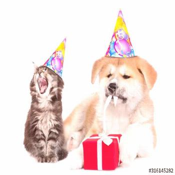 Yawning kitten wearing a birthday hat sits with akita inu puppy who is untying a gift box ribbon. i