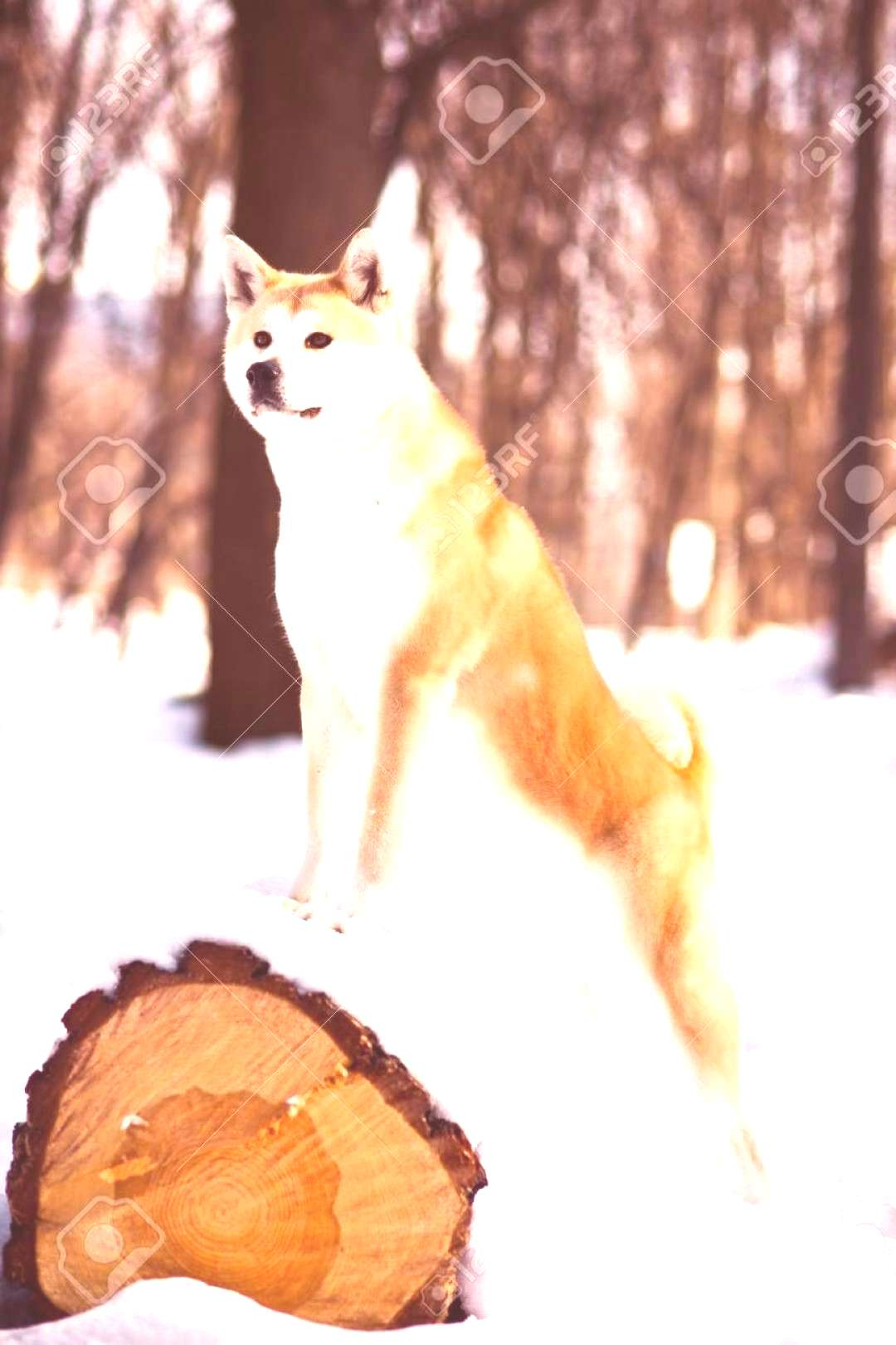 adult great Japanese Akita inu dog leaning on a tree in winter background ,You can find Akita and m