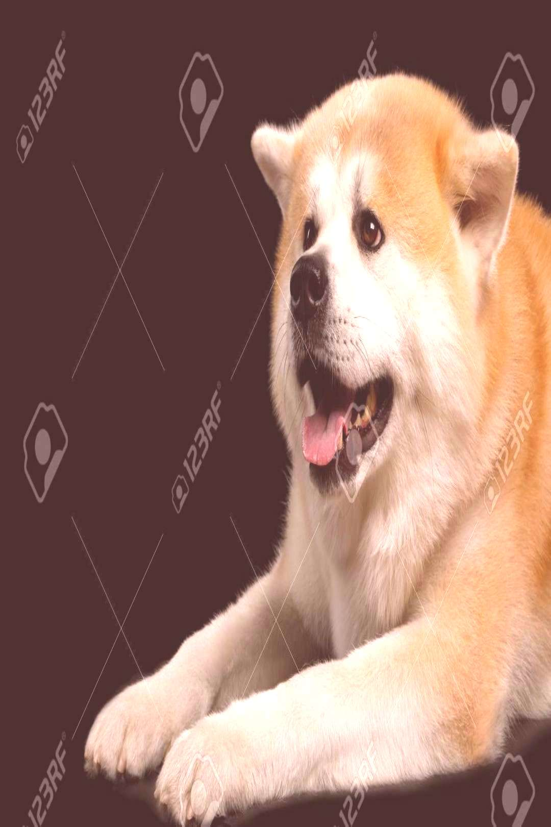 Close-up Happy Akita Inu Dog Lying on Isolated Black Background, side view ,You can find Aki...