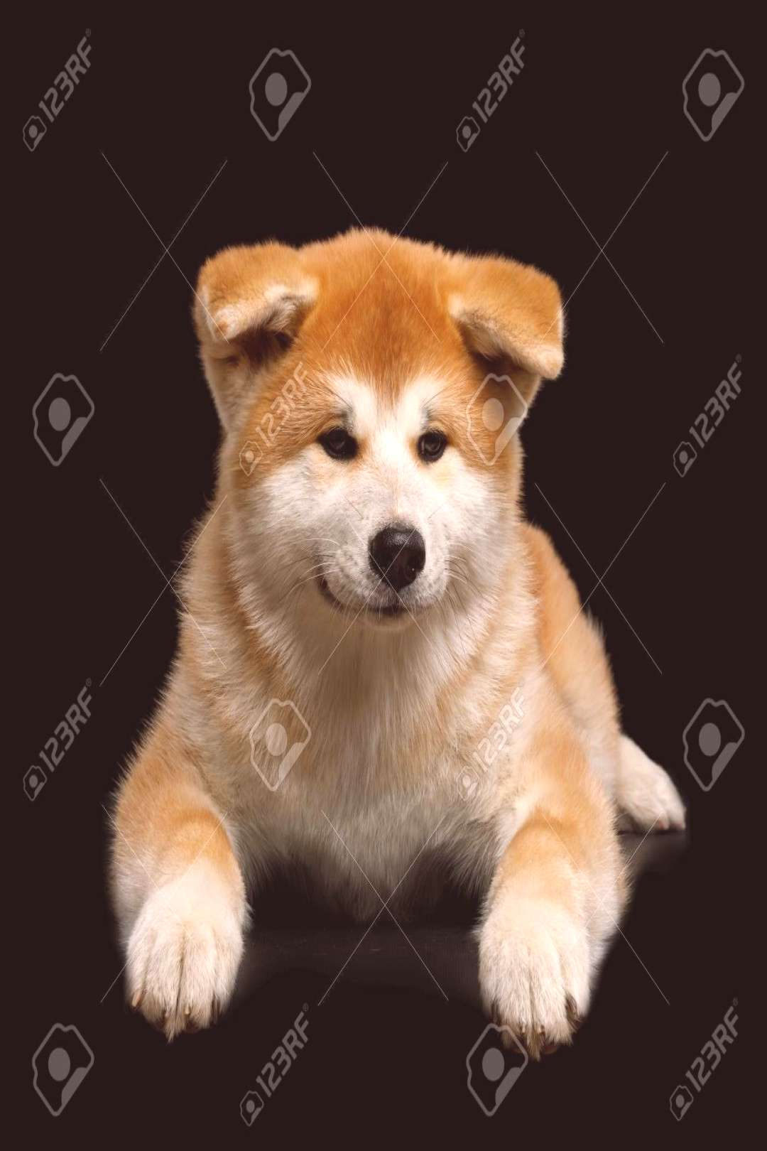 Cute Akita Inu Puppy Lying on Isolated Black Background, front view ,