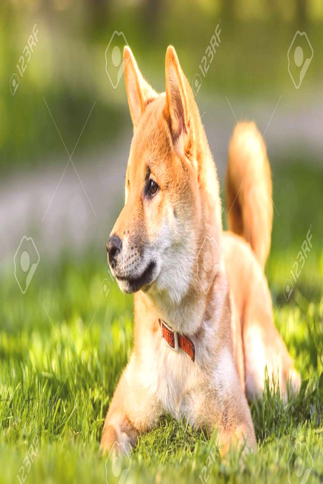 Profile portrait of great Japanese Akita inu dog puppy lying on green grass in park ,